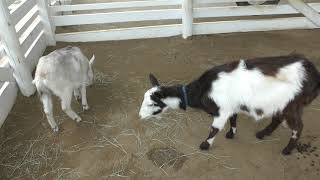 Goat & Miniature pig (Nojima Zoo, Hyogo, Japan) May 27, 2019
