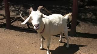 カシミヤヤギ Cashmere goat