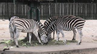 グラントシマウマ (東武動物公園) 2020年9月18日