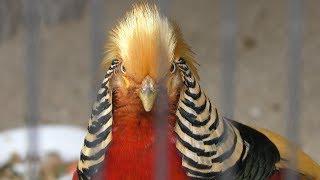 キジ目 Galliformes