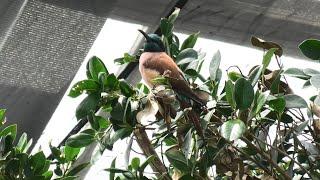 Northern Carmine Bee-eater (KOBE ANIMAL KINGDOM, Hyogo, Japan) April 23, 2021