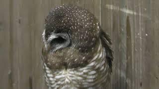African wood owl (Fuji Kachoen Garden Park, Shizuoka, Japan) November 25, 2018
