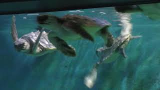 アカウミガメ (新屋島水族館) 2019年2月28日