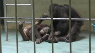 ボルネオオランウータン の『りな』と『ひな』 (釧路市動物園) 2019年7月4日