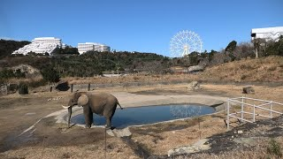 African elephant (ADVENTURE WORLD, Wakayama, Japan) January 18, 2020