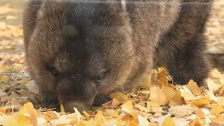 Coarse-haired wombat (SATSUKIYAMA ZOO, Osaka, Japan) December 23, 2020
