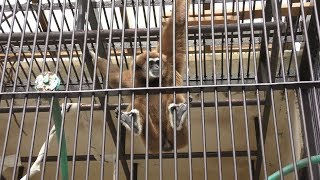 シロテテナガザル (九十九島動植物園 森きらら) 2019年4月22日