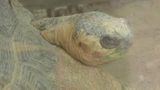 ホウシャガメ (夢見ケ崎動物公園) 2017年12月16日