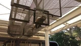 レッサーパンダ (東京都立大島公園 動物園) 2018年3月3日
