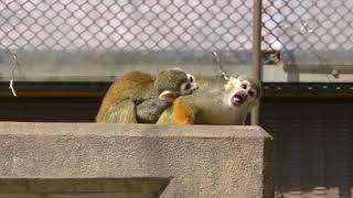 Common Squirrel Monkey (TOBU ZOO, Saitama, Japan) March 31, 2018