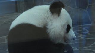 ジャイアントパンダ の『タンタン』 (神戸市立王子動物園) 2020年9月28日