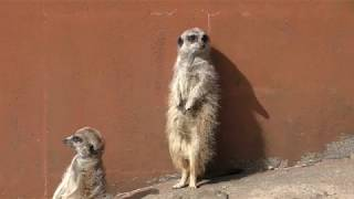 Meerkat (Izu Animal Kingdom, Shizuoka, Japan) March 17, 2018