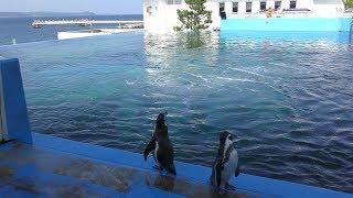 フンボルトペンギン と カマイルカ の混泳 (のとじま水族館) 2019年8月17日