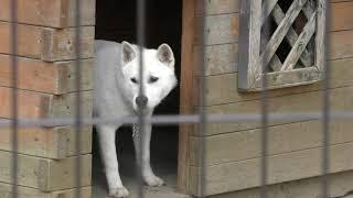 紀州犬 の『皐月』と『絢芽』 (和歌山城公園 動物園) 2018年12月24日