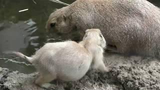 Black-tailed prairie dog (Ueno Zoological Gardens, Tokyo, Japan) July 21, 2018