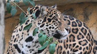 ジャガー の『ネリア』 (神戸市立 王子動物園) 2021年3月23日