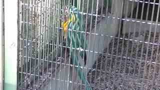 アオキコンゴウインコ (東山動植物園) 2019年1月22日
