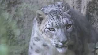 ユキヒョウ の『アサヒ』 (多摩動物公園) 2018年9月9日