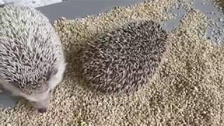 Four-toed hedgehog (Comorebi morino ibaraido, Ibaraki, Japan) June 2, 2018