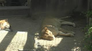 ライオン の『ラオ』と『サクラ』 (神戸市立 王子動物園) 2019年5月24日