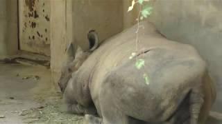 ヒガシクロサイ の『サニー』 (平川動物公園) 2018年7月29日