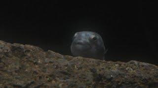 ホテイウオ の幼魚 (魚津水族館) 2019年8月15日