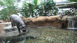 Pygmy hippopotamus (KOBE ANIMAL KINGDOM, Hyogo, Japan) April 23, 2021
