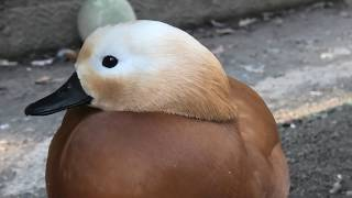 Ruddy shelduck (MISAKI KOEN Amusement Park, Osaka, Japan) January 19, 2020