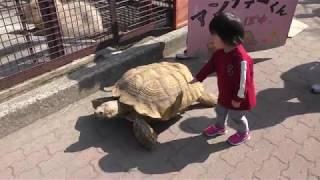 ケヅメリクガメの『アンディー』くんのお散歩 (市川市動植物園) 2018年3月4日