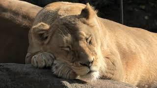 ライオン (天王寺動物園) 2019年11月20日