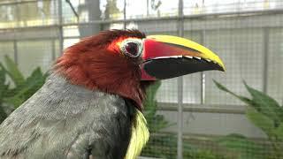 キツツキ目 Piciformes