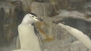 ヒゲペンギン vs アデリーペンギン (名古屋港水族館) 2017年11月18日