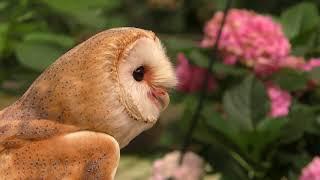 メンフクロウ の『ブラン』 (加茂荘花鳥園) 2018年7月1日