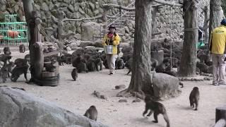 ニホンザルの餌付けの時間 16:00 (国立公園 高崎山自然動物園) 2019年12月4日
