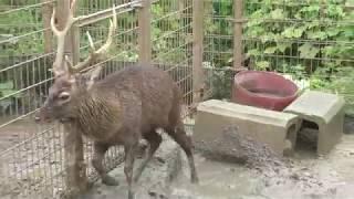 雨の日のホンシュウジカ (東武動物公園) 2017年10月15日
