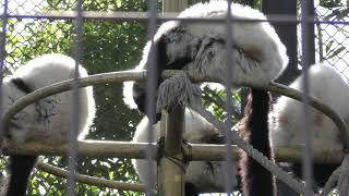 エリマキキツネザル (熊本市動植物園) 2019年4月18日