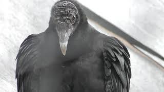 クロコンドル (天王寺動物園) 2019年3月31日