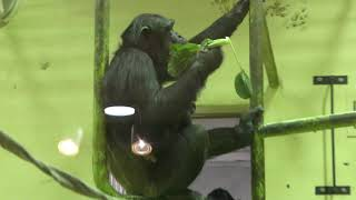 チンパンジー (京都市動物園) 2019年1月26日
