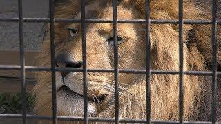 ライオン の『あさひ』 (大牟田市動物園) 2019年4月19日