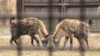 ブチハイエナ の『ブッチー』と『エナ』 (高知県立のいち動物公園) 2019年12月21日