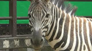 グラントシマウマ (姫路市立動物園) 2019年6月6日