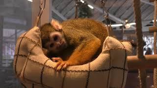 Squirrel Monkey (Hakone-en Animal land petting Zoo, Kanagawa, Japan) October 28, 2018