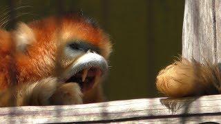キンシコウ の『飛飛(フェイフェイ)』と『優優(ヨウヨウ)』 (熊本市動植物園) 2019年4月18日
