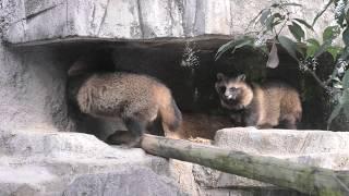 ホンドタヌキ (天王寺動物園) 2019年11月20日