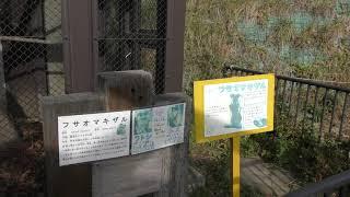 フサオマキザル (日立市かみね動物園) 2018年12月4日