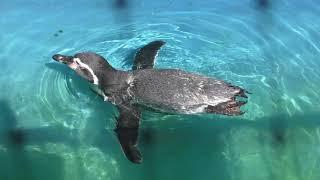 Humboldt penguin (Kiryugaoka Zoo, Gunma, Japan) October 9, 2017