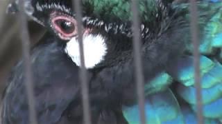 パラワンコクジャク (天王寺動物園) 2017年11月3日
