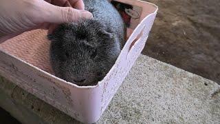 FureaiGuinea pig (NARITA DREAM FARM, Chiba, Japan) September 12, 2020