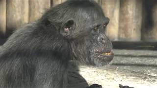 チンパンジー (日本平動物園) 2017年12月10日