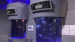 クラゲ水槽 (おたる水族館) 2019年6月14日